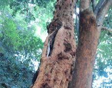 小田原のビランジュの木