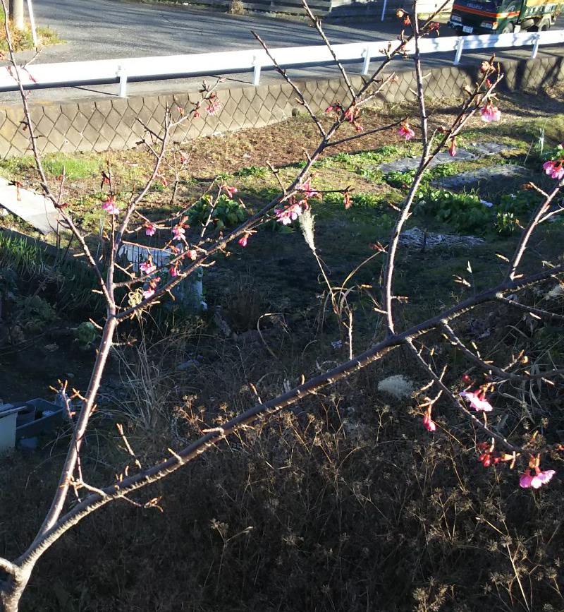 土手に植えた河津桜が今年も咲きました。
