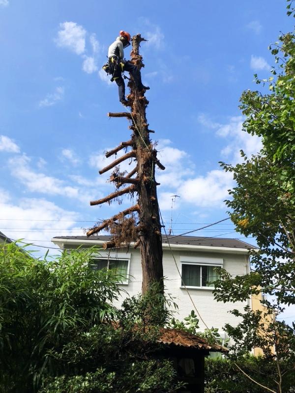 思い出もくもく企画:鎌倉 常楽寺さんのビャクシン【伐採】