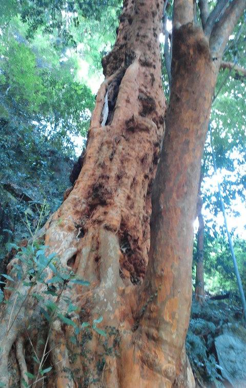 小田原市早川のビランジュの木