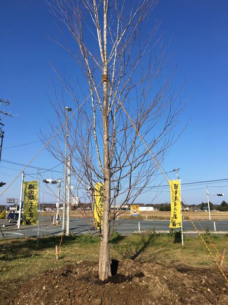 小田原 南相馬 桂の木